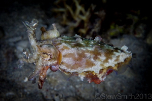 Reef Cuttlefish by Stew Smith 